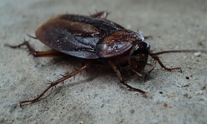Cockroach control with First Rate Pest Control of San Jose